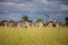 Sebra i Botswana Royaltyfria Bilder