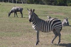 Sebra i det öppet, zoo, safari, Yumka, Villahermosa, tabasco, Mexico Arkivfoto