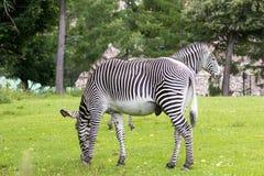 Sebra i en grön savann royaltyfria bilder