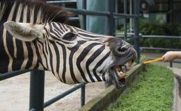 Sebra i en zoo Arkivbilder
