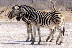 Sebra i Etosha Parc Namibia Royaltyfria Foton