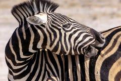 Sebra i Etosha Parc Namibia Arkivfoton
