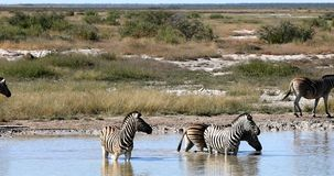 Sebra i Etosha waterhole, Namibia djurlivsafari