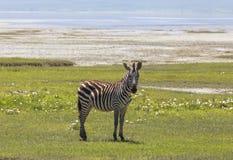 Sebra i Maasai Mara, Kenya Arkivbilder