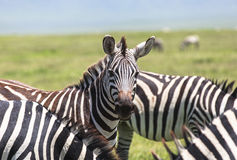 Sebra i Maasai Mara, Kenya Royaltyfri Fotografi