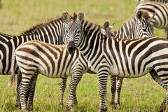 Sebra i masaien Mara Arkivfoton