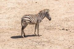 Sebra i safarivärlden, Bangkok Thailand Royaltyfri Foto