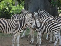 Sebra i savann Arkivbild