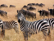 Sebra i savannahen av Kenya Arkivfoto