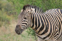 Sebra i savannet Royaltyfri Foto
