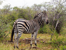 Sebra i se för savann Arkivfoto