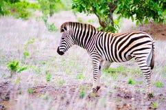 Sebra i it& x27; naturlig livsmiljö för s Arkivfoto