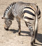 Sebra i zooen Arkivbild