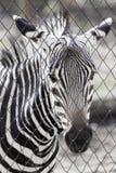 Sebra i zooen Royaltyfri Bild