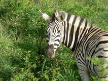 SEBRA KRUGER NP, SYDAFRIKA Royaltyfri Fotografi