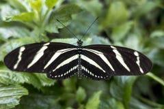 Sebra Longwing, Heliconius charitonia - fjäril Arkivfoton