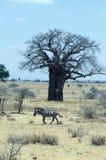 Sebra med baobaben Arkivbilder
