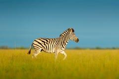 Sebra med blå himmel Sebra för Burchell ` s, Equusquaggaburchellii, Nxai Pan National Park, Botswana, Afrika Löst djur på mjödet Arkivfoto