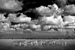 Sebra med blåttstormhimmel Sebra för Burchell ` s, Equusquaggaburchellii, Nxai Pan National Park, Botswana, Afrika Löst djur på t Fotografering för Bildbyråer