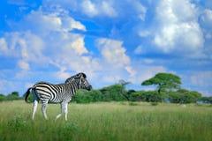 Sebra med blåttstormhimmel Sebra för Burchell ` s, Equusquaggaburchellii, Nxai Pan National Park, Botswana, Afrika Löst djur på t Royaltyfria Bilder