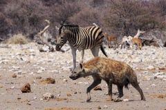 Sebra och hyena i Etosha Parc Namibia Royaltyfri Foto