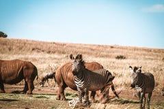 Sebra och noshörning Arkivbilder