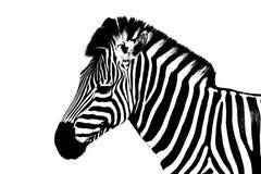 Sebra på /Young för vit bakgrund som en manlig sebra isoleras på vit bakgrund Arkivfoton