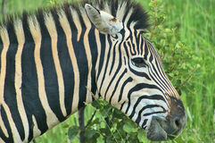 Sebra som är nära upp i Sydafrika Royaltyfri Fotografi