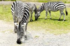 Sebra som äter gräs i zoo Fotografering för Bildbyråer