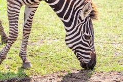Sebra som äter gräs på jordningen Royaltyfri Bild