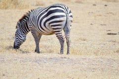 Sebra som betar i savannet fotografering för bildbyråer