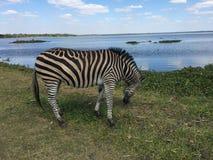 Sebra som betar vid sjön royaltyfria bilder