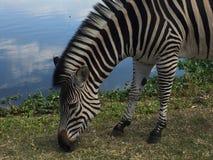 Sebra som betar vid sjön fotografering för bildbyråer