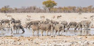 Sebra som dricker på en waterhole i den Etosha nationalparken, Namibia royaltyfri foto
