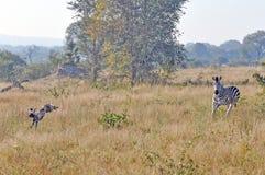 Sebra som jagar lös hundkapplöpning Royaltyfri Fotografi