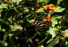 Sebra som longwing, Heliconius charitonius, fjäril Arkivfoton