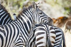 Sebra som lutar huvudet på baksidan av en annan sebra i Serengeti, Tanzania Royaltyfri Foto