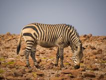 Sebra som matar i stenig omgivning under eftermiddagljus, Palmwag medgivande, Namibia, Afrika Royaltyfria Foton