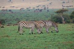 Sebra som tre äter på Serengetien Royaltyfria Bilder