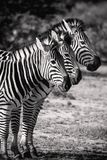 Sebra tre i rad Svarta & vita Safari Animals Royaltyfri Fotografi