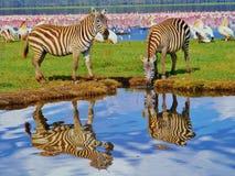 Sebra två reflekterade i ett damm nära rosa flamingo i sjön i Afrika royaltyfri fotografi