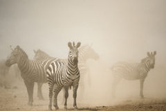 Sebraanseende i damm, Serengeti, Tanzania Arkivfoton