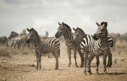 Sebraanseende, Serengeti, Tanzania Arkivbild