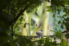 Sebraduvafågel som sätta sig på en filial arkivfoto