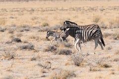 Sebrafamilj i den Etosha nationalparken, Namibia royaltyfria foton