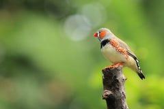 Sebrafinch Arkivfoto