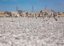 Sebraflyttning i Makgadikgadi panorerar nationalparken - Botswana Royaltyfria Bilder
