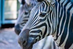 Sebragårdfarihandlare, Equus Burchelli Chapmani royaltyfria bilder