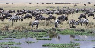 Sebragnu som betar Tanzania Tom Wurl Arkivfoto