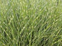 Sebragräs arkivfoton
